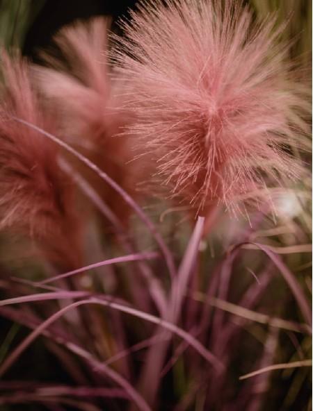 Διακοσμητικό φυτό πάμπας σε γλαστράκι