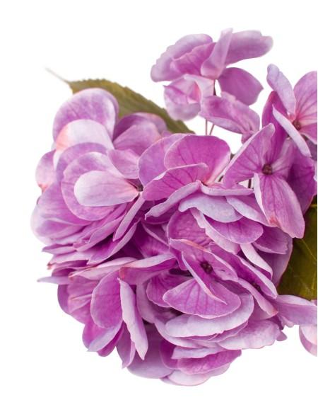 Διακοσμητικό λουλούδι ορτανσία